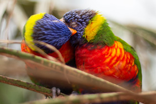 Rainbow Lorikeets | by hans s