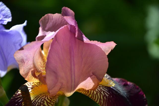 Iris 'Voltigeur' - Ferdinand Cayeux 1934 8752607645_9632fb4661_z