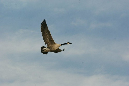 Flying Canada Goose | by 7_ate_9