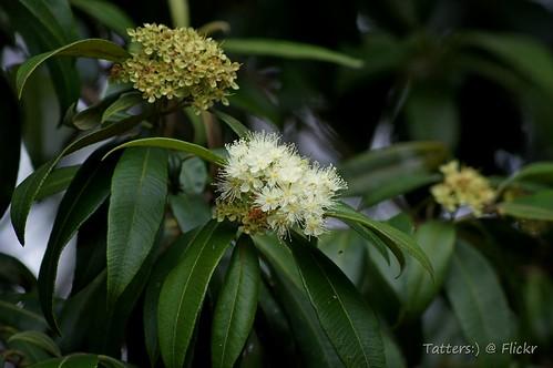 Lemon myrtle  (Backhousia citriodora)   by Tatters ✾