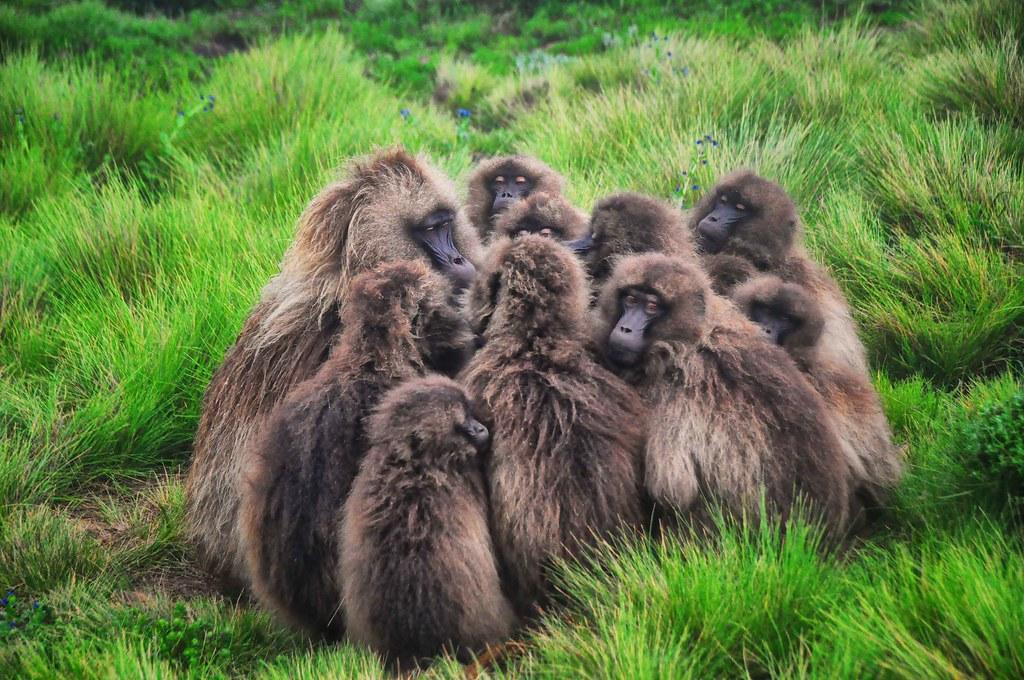 Listen Up, Gelada Baboons