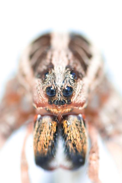 Face d'araignée II : Pisaure