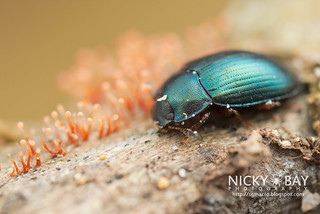 Darkling Beetle (Androsus corporaali) - DSC_1680   by nickybay