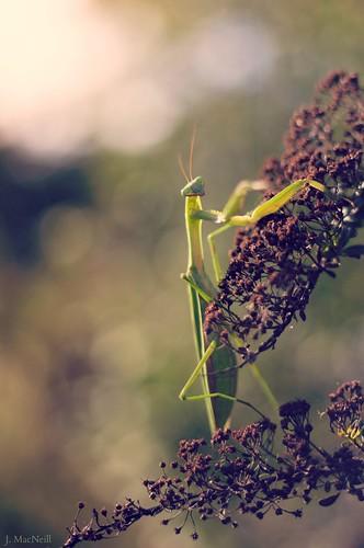 nature bug mantis insect bokeh praying mantodea jennifermacneilltraylor jmacneilltraylor jennifermacneill jennifermacneillphotography