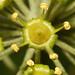 Flickr photo 'Hedera helix CF1A906-C60F' by: Sarah Gregg Petriccione.