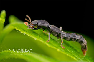 Rove Beetle (Neopinophilus sp.) - DSC_8801 | by nickybay