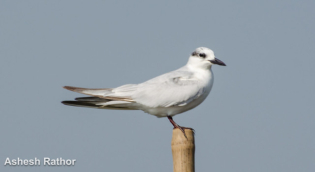 Whiskered Tern at mangalajodi