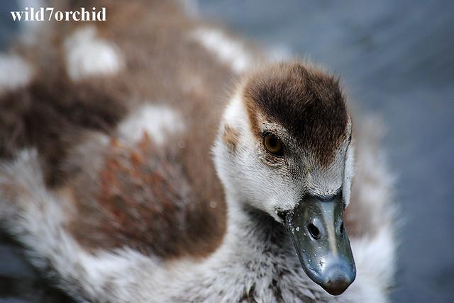 Egyptian goslings - 17
