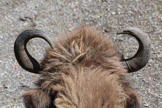 European Bison | by Satriver