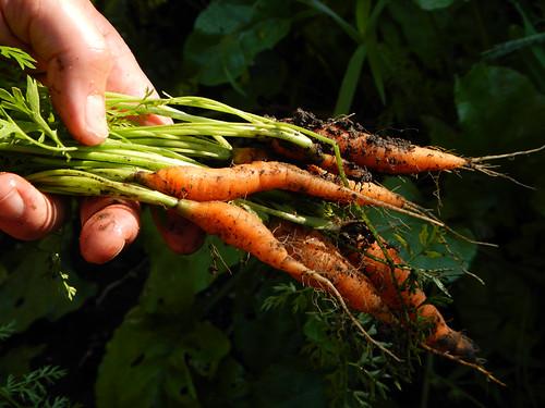 Dad's garden: carrots