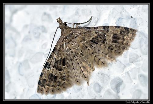 Ornéode du chèvrefeuille (Alucita hexadactyla)