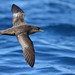 Flickr photo 'Short-tailed Shearwater' by: 0ystercatcher.