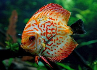 Discus fish. | by Bernard Spragg