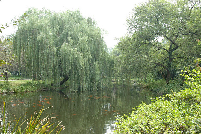 Sauce llorón lamiendo el estanque - Hangzhou