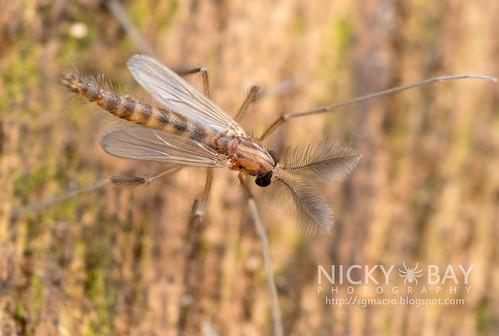 Midge (Chironomidae) - DSC_8888b | by nickybay