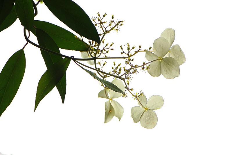 Chinese Hydrangea 華八仙