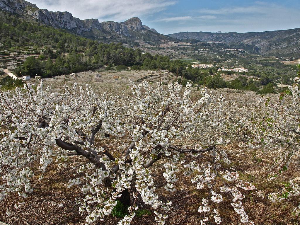 Los cerezos en flor en el valle de la gallinera.