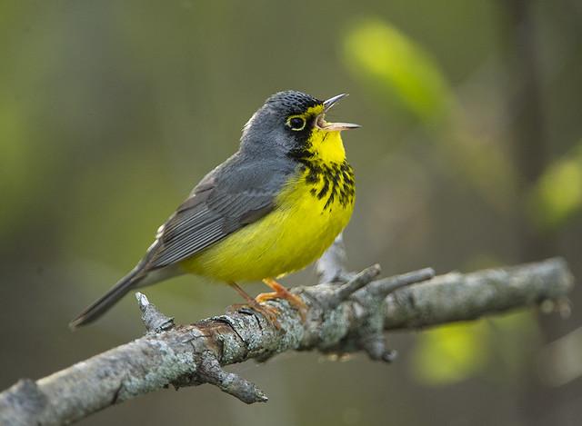 Canada Warbler Singing