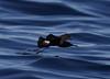 Wilson's Storm-Petrel  Oceanites oceanicus by Neil Cheshire