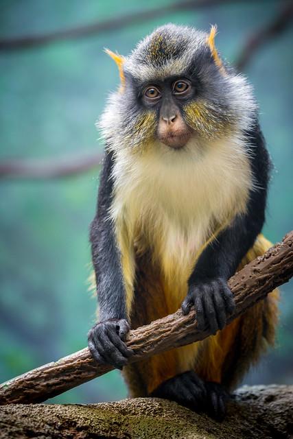 Portrait of a Wolf's Mona Monkey