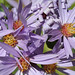 Smooth Aster