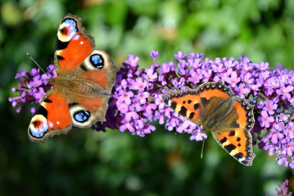 Peacock & Small Tortoishell Butterflies