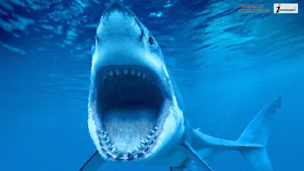 White Shark Sea Fish Hd Wallpaper White Shark Sea Fish Hd