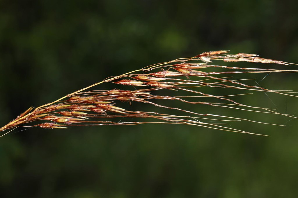 spear grass seed heads  sorghum sp    charles darwin natio u2026