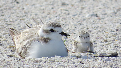 Snowy Plover Mother & Chick | by MyFWC Florida Fish and Wildlife