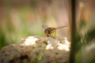 Female Hover-fly