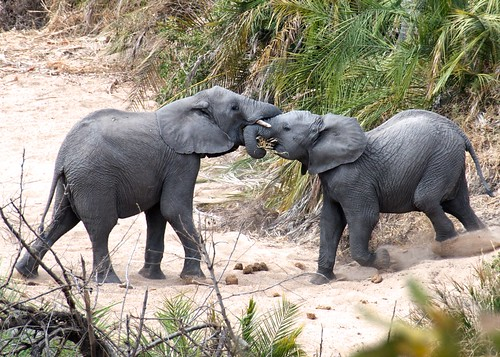 Young elephants play | by rogersmj