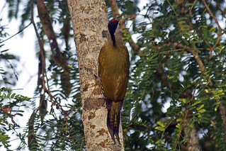 Medley Birds-12 - Picus canus | by Vijay Anand Ismavel