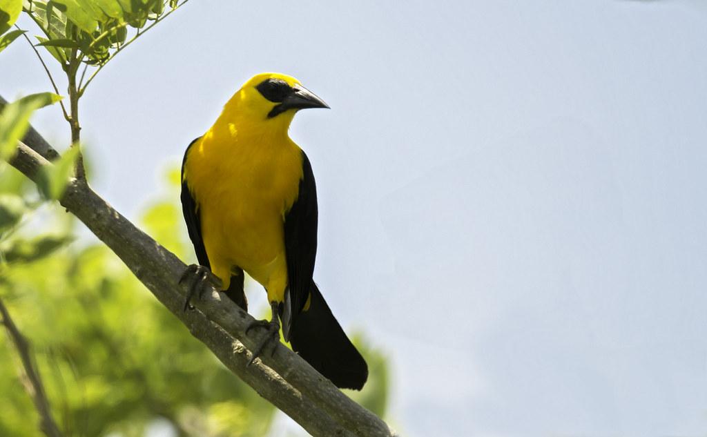 Gymnomystax mexicanus - Oriole Blackbird - Chango Oriolino - Turpial Lagunero 07