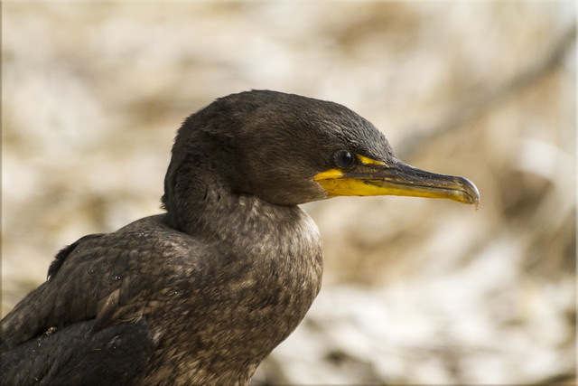 Cormorant in Morro Bay