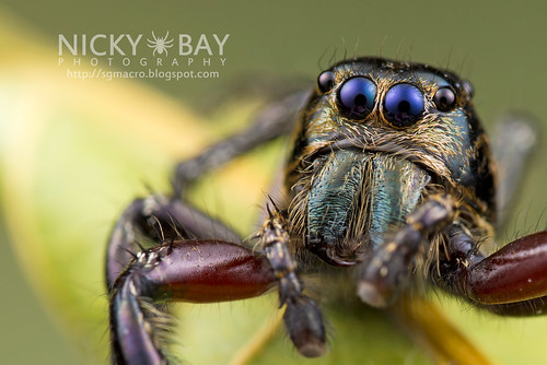 Heavy Jumping Spider (Hyllus sp.) - DSC_9081 | by nickybay