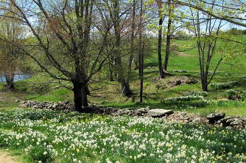 trees pond rockwalls litchfieldct cattlefields 15acres may2013 wigwamroad litchfielddaffodils