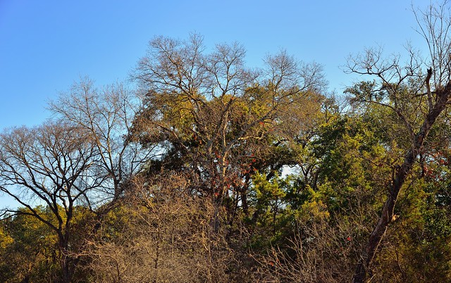 Trees and Blue Skies while Walking in Barton Creek