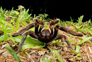 Tarantula (Theraphosidae) - DSC_1299 | by nickybay