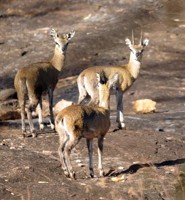 Klipspringer, Oreotragus oreotragus, Matobo National Park, Zimbabwe