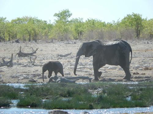 Etosha NP - baby en mama olifant