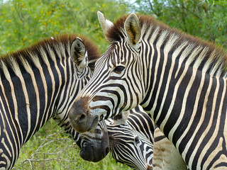 Burchell's Zebras (Equus quagga burchellii) | by berniedup