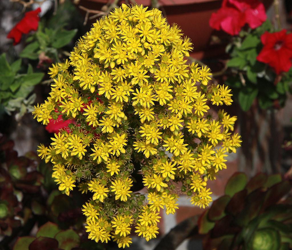 Yellow Flower Cluster On A Aeonium Arboreum (Crassulaceae