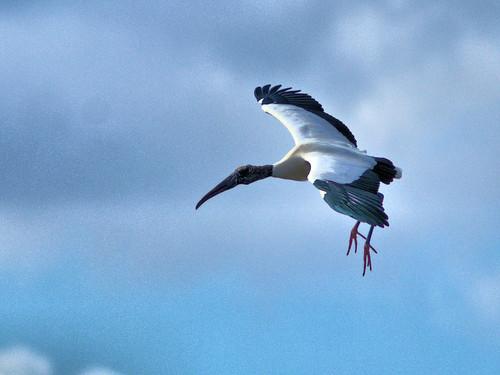 Wood Stork in flight 05-20170220