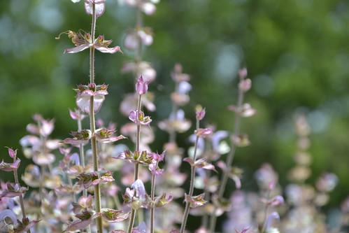 Salvia sclarea - sauge sclarée 32922355295_15fcc81cf3