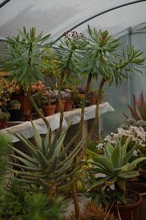 Euphorbia atropurpurea (N0320) | by Eric Barbier