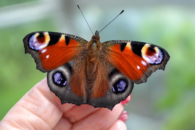 Peacock Butterfly Inachis Io