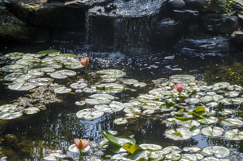 summer flower outdoors zoo washingtondc waterfall pond waterlily lily nationalzoo waterfeature lilypad zooanimals timbrown smithsoniannationalzoologicalpark