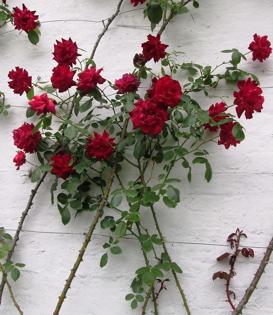 Red roses on white wall