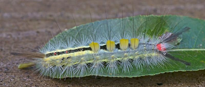 Tussock Moth - Orgyia leucostigma Caterpillar