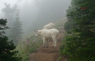 Olympic mountain goats, Mt Ellinor | by danlmarmot